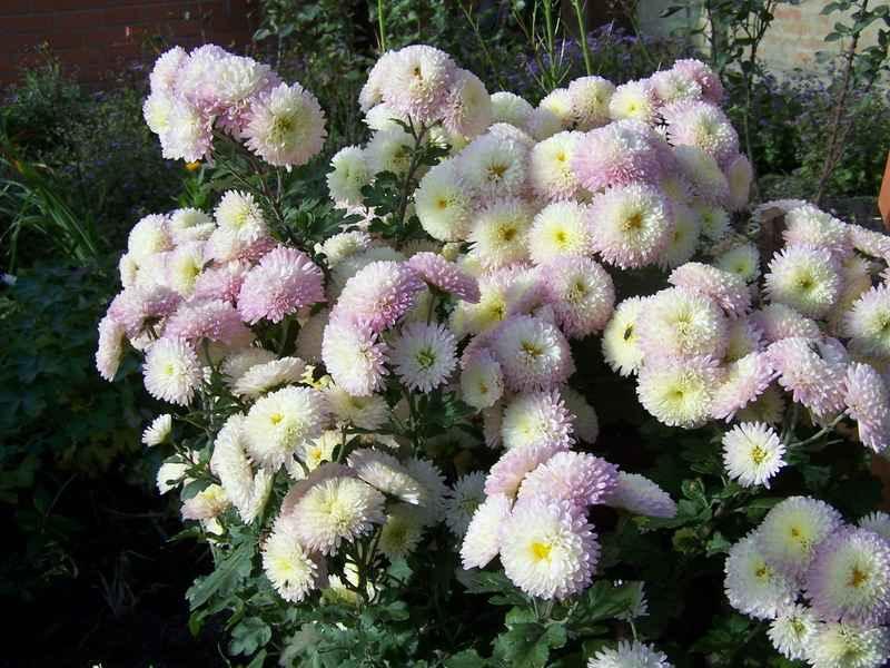 Дубки цветы цена