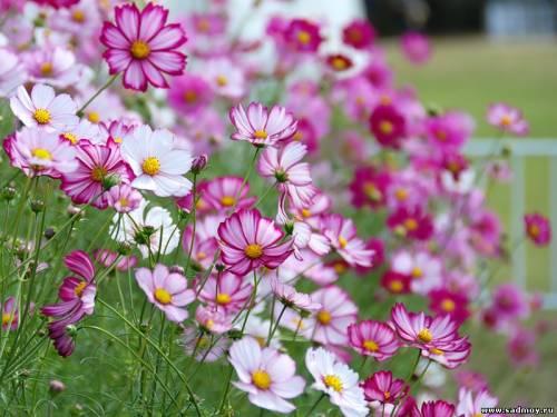 Цветы космеи фото № 3263765 фотограф