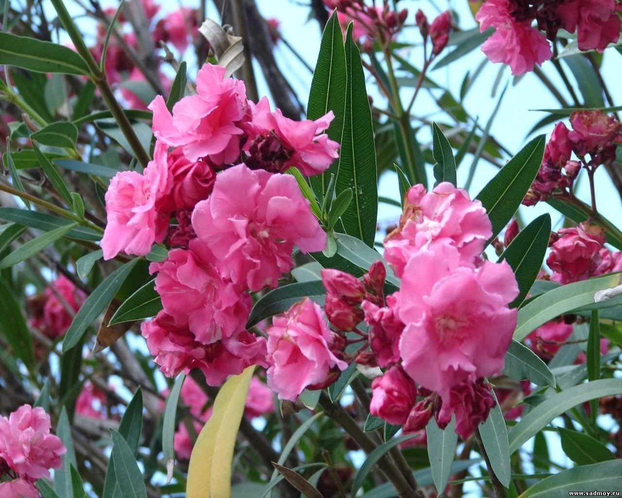 Растение с розовыми цветками фото